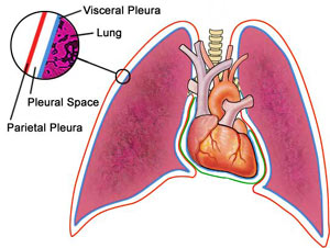 Normal Pleura