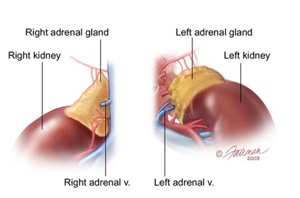 anatomy_Adrenals_Anterior