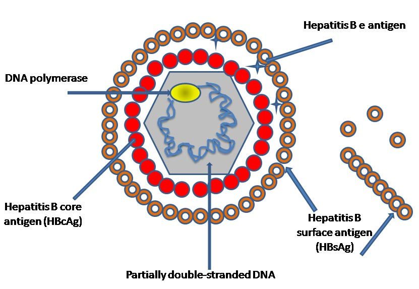 Hepatitis_B_virus