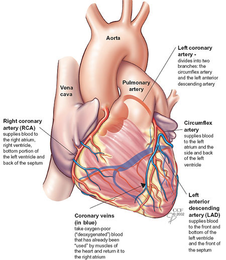 coronaryarteriesnew